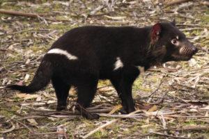 Tasmanian Devil, Brighton, TAS Bonorong Wildlife Sanctuary