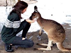 Curtin University student Monica from Madrid feeding kangaroos at Caversham Perth